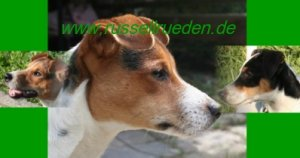 Parson Jack Russell Rüden